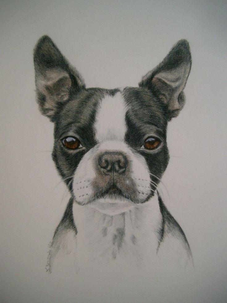 Awwww cute boston terrier.