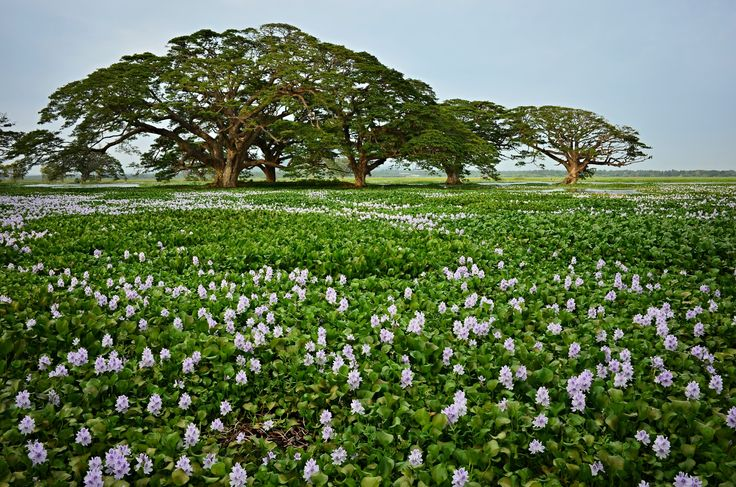 Looks like meadow by Tomas Mähring on 500px #lake #meadow #spring #srilanka #tree #embilipitya #chandrika wewa
