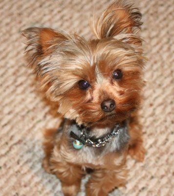 yorkie poo grooming 85 best images about yorkie haircuts on pinterest best 6230