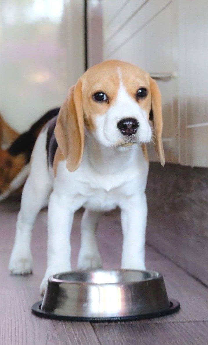 Adorable Beagle Puppy Beagle Puppy Beagle Dog Beagle