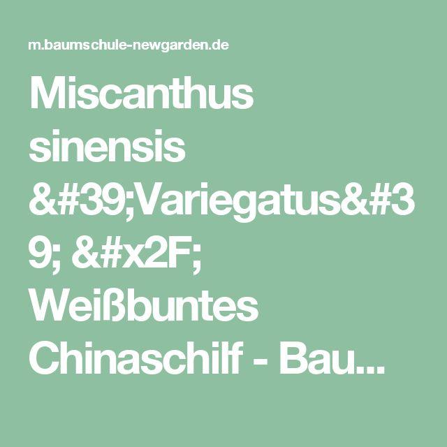 Miscanthus sinensis 'Variegatus' / Weißbuntes Chinaschilf - Baumschule NewGarden