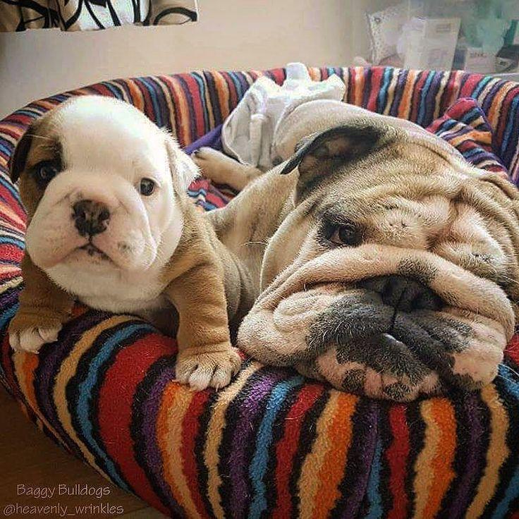 ♥ Baggy Bulldogs ♥