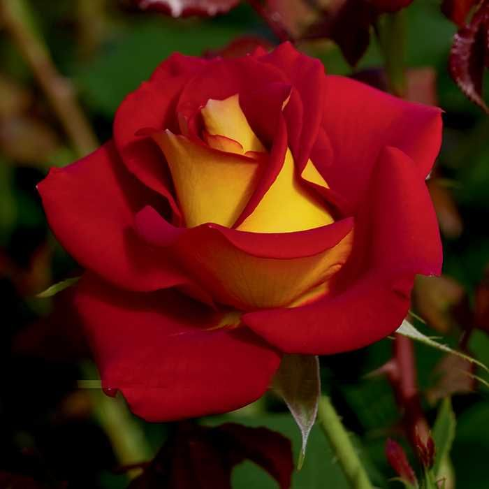 Ketchup And Mustard Floribunda Rose