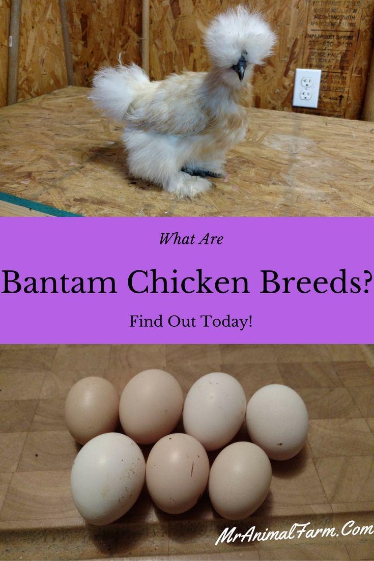 best 25 bantam chickens ideas on pinterest frizzle chickens