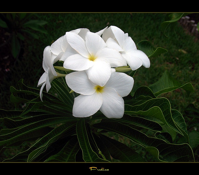 Puerto Rico Flowers - The Plumeria Pudica by mad plumerian, via Flickr