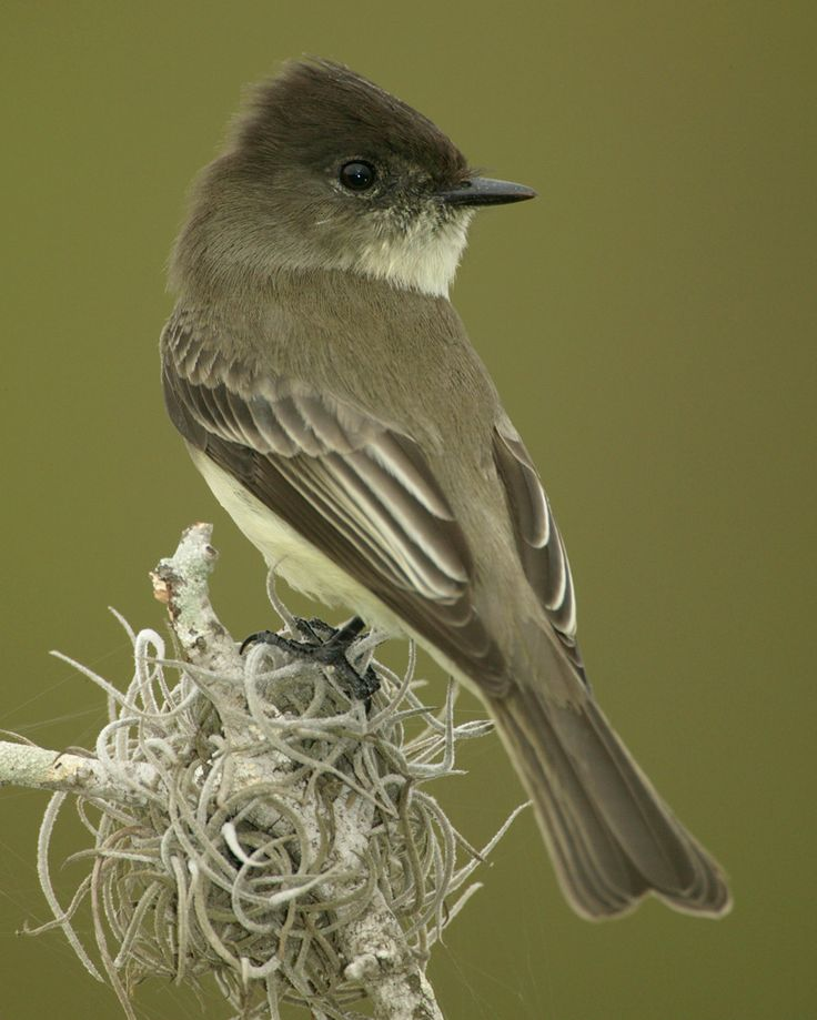 The Eastern Phoebe (Sayornis Phoebe) Is A Smallish Bird Seen Year Round