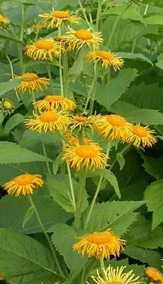 Inula helenium - Elecampane - Alantrot. Perennial herb.  Antiseptic, antibacterial, antifungal, dissolves mucus, astringent, anti inflammatory, pain relief, dries up secretions + +   Used for: Bronchitis, cold, coughs, pertussis, catharr, allergies, asthma, emphysema, pneumonia, tuberculosis. Improves digestion, increases apetite, relieves nausea, giardaisis and candida.