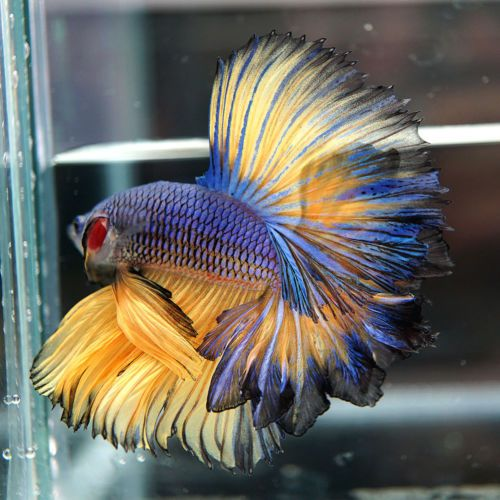 603 best images about fish fight on pinterest for How big can a betta fish get