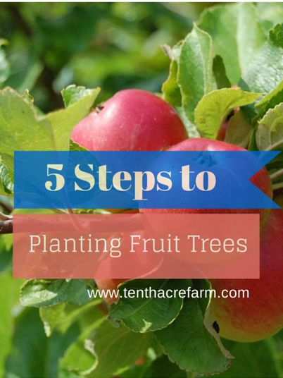 5 Steps to Planting Fruit Trees Pin