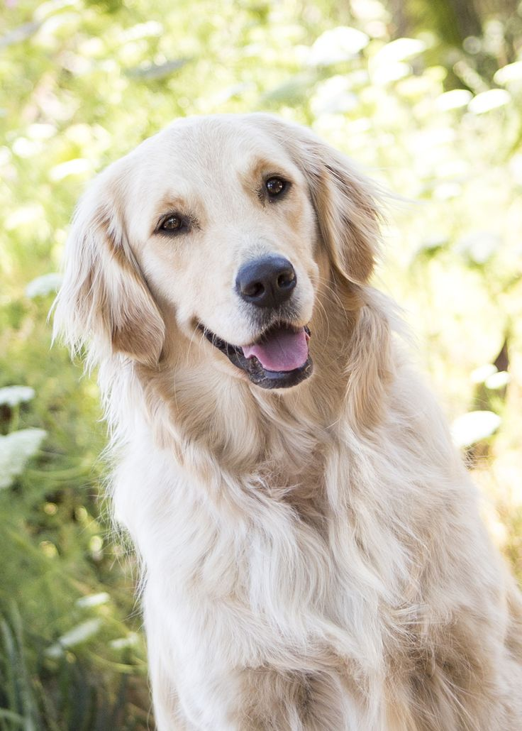 91 Best Images About White Golden Retriever On