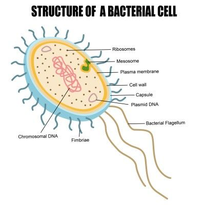 Bacterial Cell Structure