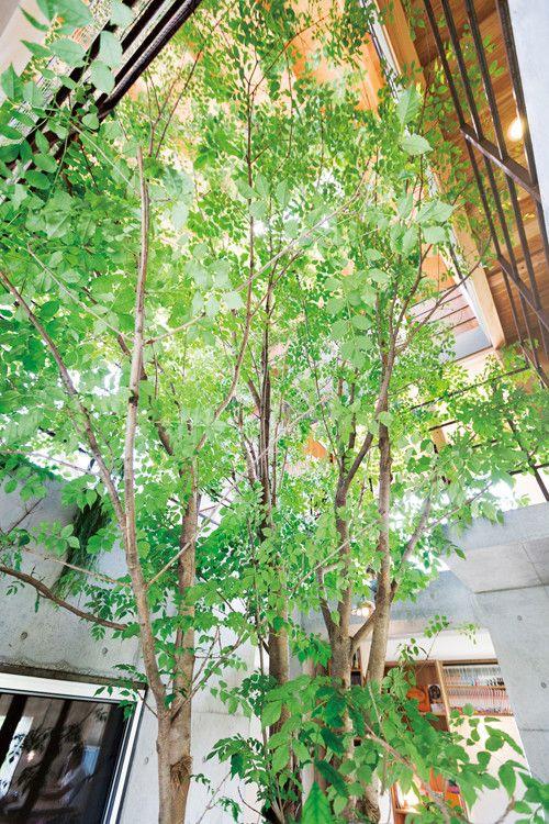 家の真ん中にあるアオダモの木。人と自然が混ざり合う暮らし   スミカマガジン   SuMiKa