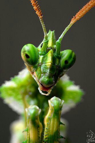 Mantis; Parece tan sabio y antiguo.