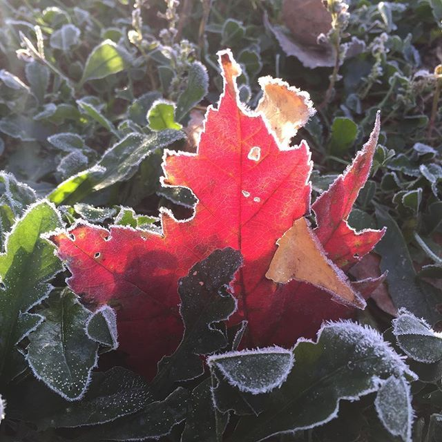 First frost and I'm in love with this beautiful fall Maple Leaf. Taken by Alison Pentland.
