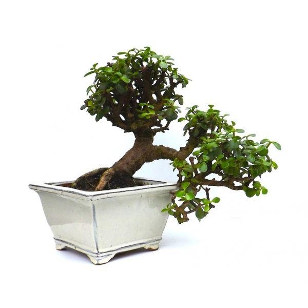 88 best bonsa trees for sell images on pinterest. Black Bedroom Furniture Sets. Home Design Ideas