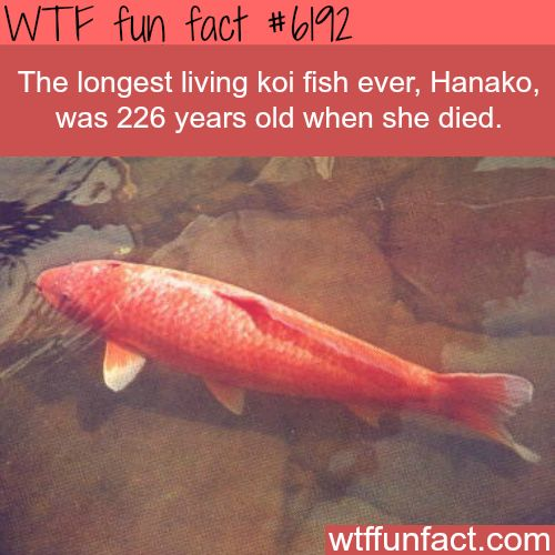 The longest living koi fish - WOW! Jus WOW! ~WTF weird & fun facts