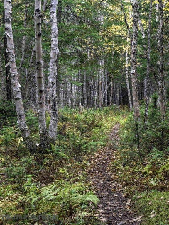 Sentier dans une Forêt de Bouleaux 6' x 8' (1,83m x 2,44m)