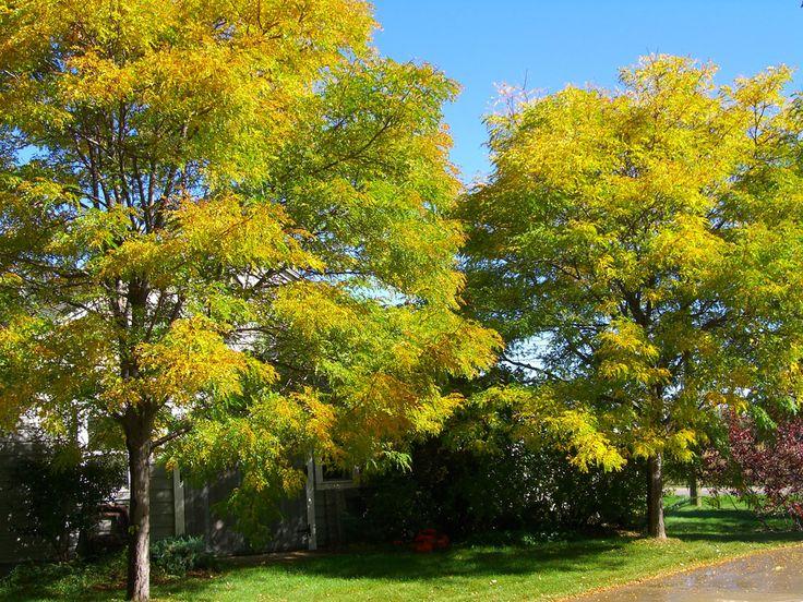 Image result for honey locust trees