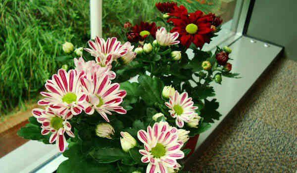 1. Les chrysanthèmes | 9 Plantes d'Intérieur Qui Nettoient l'Air et Qui Sont Quasi Increvables | http://www.comment-economiser.fr/plantes-interieur-qui-nettoient-air.html