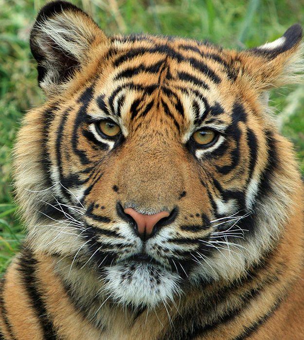 Le Tigre (Panthera tigris), emblématique des espèces les plus menacées  On estime qu'il reste uniquement 3 200 tigres vivant dans le monde à l'état sauvage.  Sur les 8 sous-espèces de tigres, seules 5 sous-espèces sont encore existantes : le tigre du Bengale (Inde, Bangladesh et Népal) (photo), le tigre de l'Amour (Sibérie), le tigre de l'Indochine, le tigre de Sumatra (Indonésie) et le tigre de Chine.