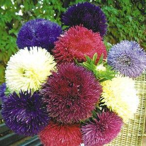 Необычный совет, как вырастить пышные цветы астры .