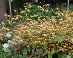Epimedium (barrenwort) - East bank