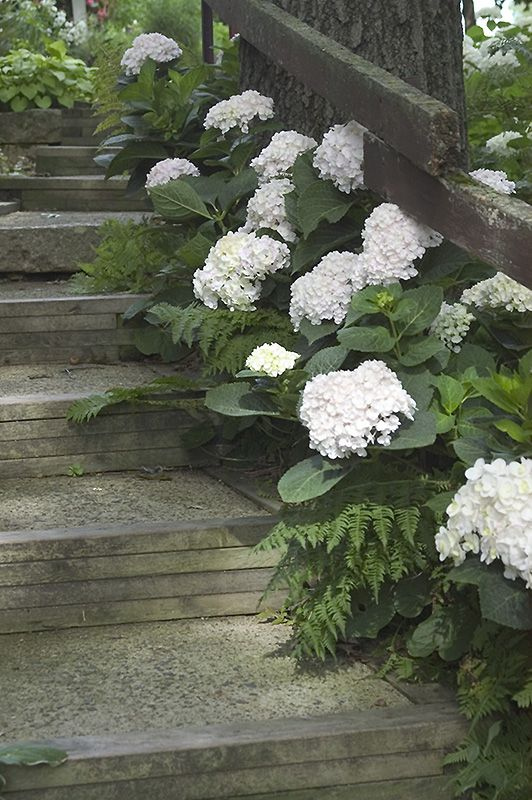 Click to view full-size photo of Blushing Bride Hydrangea (Hydrangea macrophylla 'Blushing Bride') at Jim Melka Landscaping & Garden Center