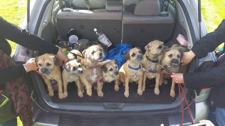 Family reunion. From left to right, Buddy, Grace, Webster(dad) Josie (mum), Sonny, Frank & Oscar. Pups first birthday.