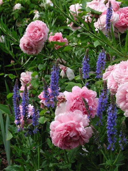 la rosa di simotricci - Forum Giardinaggio