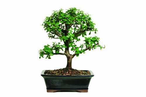 Bonsai-Indoor-Tree-Dwarf-Jade-Plant-7-Years-Old-Best-Gift