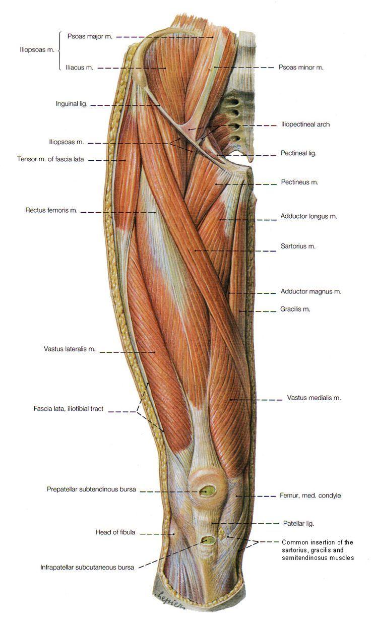 Legs anatomy muscle