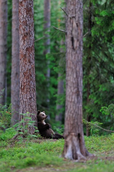 Brown bear cub resting Photo by Erik Mandre -- National Geographic Your Shot
