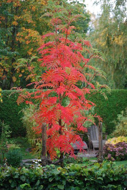 Jag hade länge suktat efter en Ullungrönn men då jag var rädd att den skulle bli för stor planterades först en Carmencitarönn. Tyvärr blev det inte riktigt bra. Den var liksom för skir i vår trädgård och fick till slut flytta hem till Hanna ( I Tages trädgård), där den blivit väl omhändertagen. Förra hösten planterade således en Ullungrönn och jag är jätteglad för det fina lilla trädet. Den passar så bra i trädgården och är oerhört vacker. Jag tycker nästan att alla borde ha en Ullun....