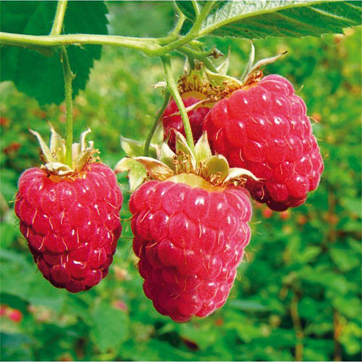 <3  Raspberry  Vadelma