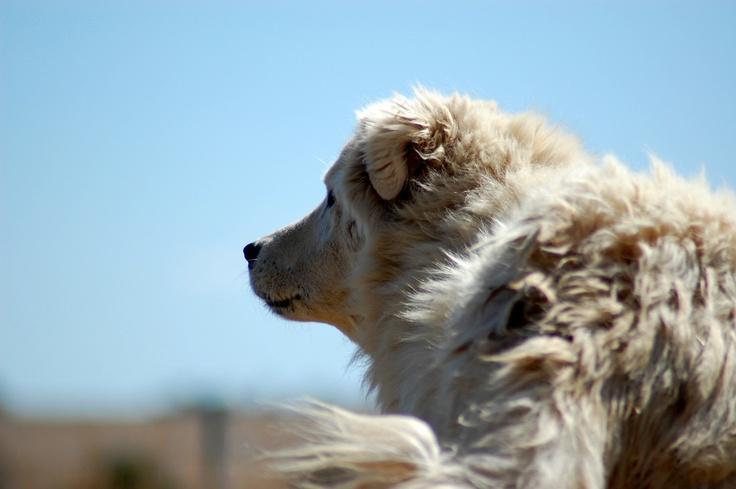 File:Maremma Sheepdog 1.jpg