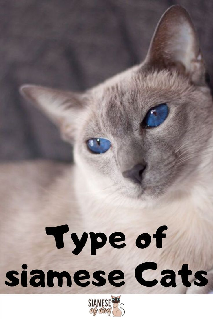 How Many Types Of Siamese Are There Here S The Answer In 2020