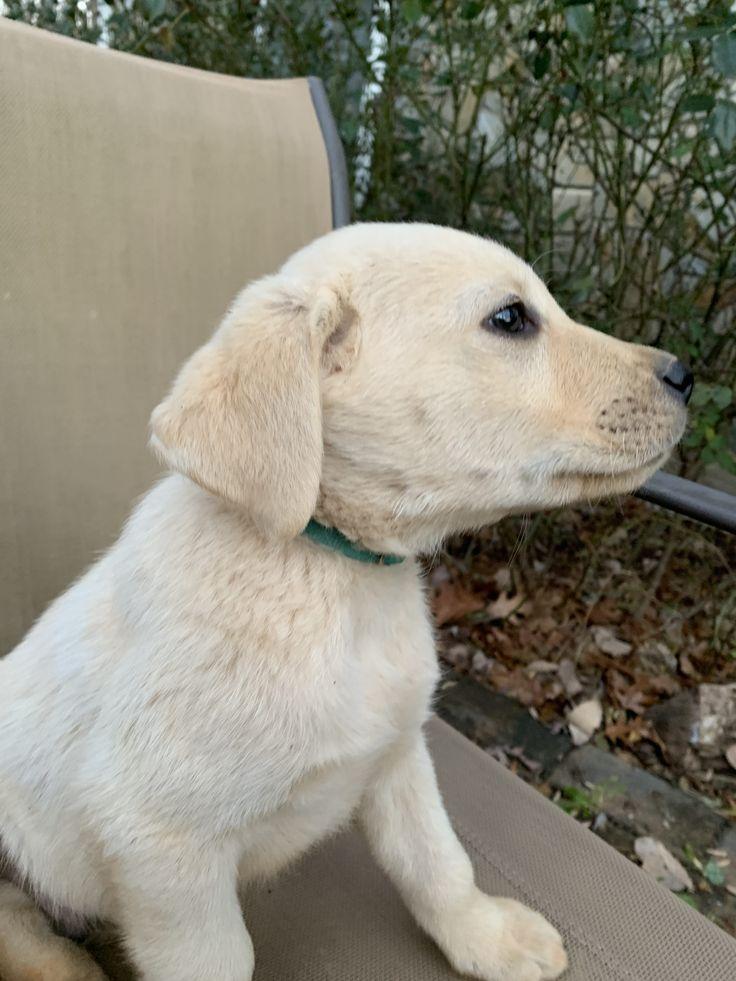 Buddy AKC Labrador Retriever for sale at Rocky Mount