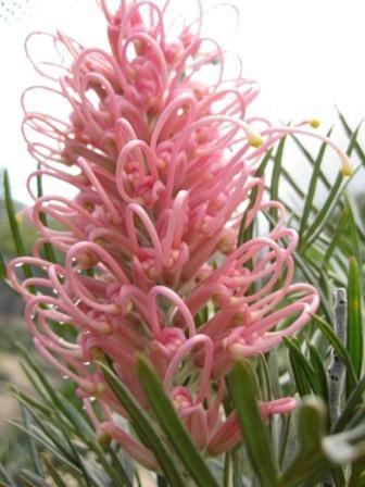 Grevillea 'Casitas Pink' • Australian Native Plants Nursery • Plants • 800.701.6517