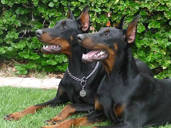 Feliss (on the left) and Laila. Black and rust Doberman Pinschers