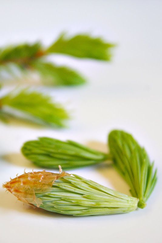 How to Make Spruce Tip-Infused Olive Oil