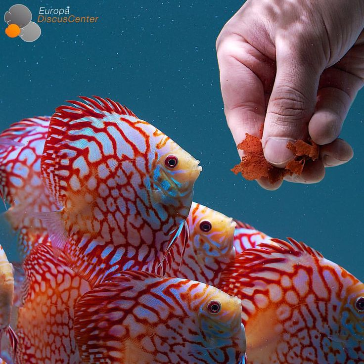 Feeding juvenile Checkerboard Discus with flakes #discus #diskus #diskusfische…
