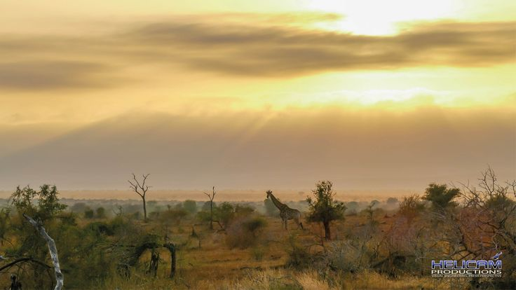 Giraffe on the South African Plains
