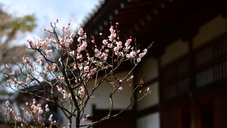 Ume Blossoms at Ninna-ji Temple - 京都仁和寺の梅花 Pink ume blossoms at Ninna-ji Temple, a world heritage site.