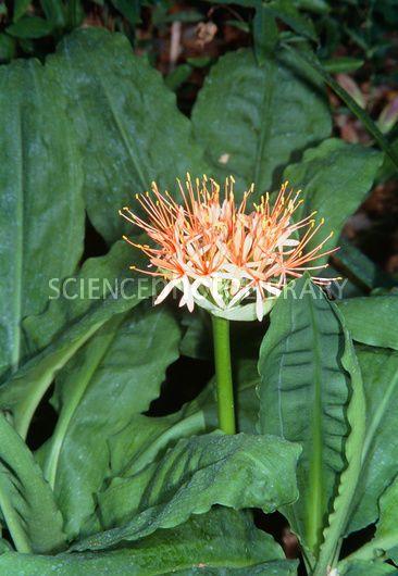 Scadoxus multiflorus ssp katherinae - Stock Image B836/0972 ...