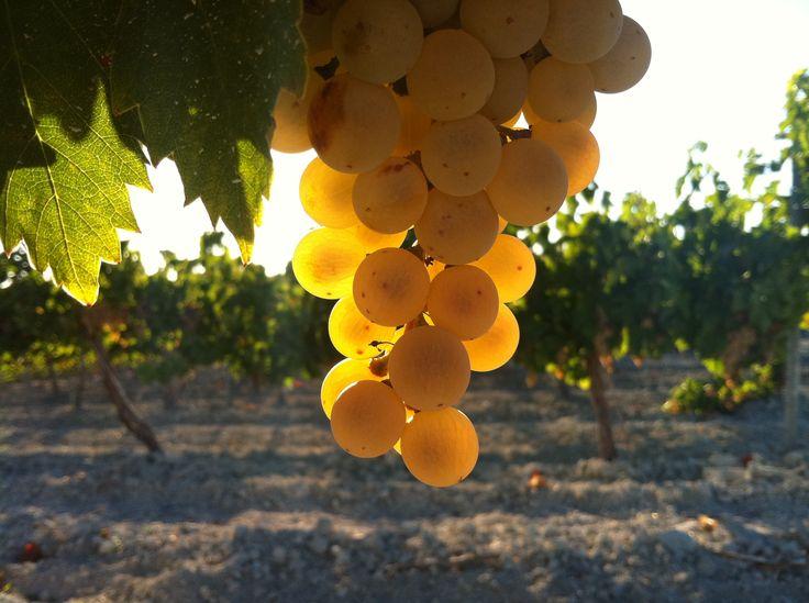 Uva pedro ximénez, la madre de los vinos generosos de la DO Montilla-Moriles