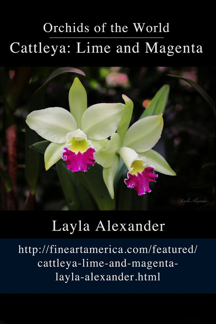 New photo! Twin Cattleya orchids with silk smooth lime petals, yellow centres and magenta ruffles, cared for in the National Orchid Garden of the Singapore Botanic Gardens.  #orchids #flora #botanical #photography #artprints #gifts #greetingcards http://fineartamerica.com/featured/cattleya-lime-and-magenta-layla-alexander.html