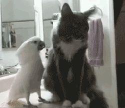 Parrot Love Cat