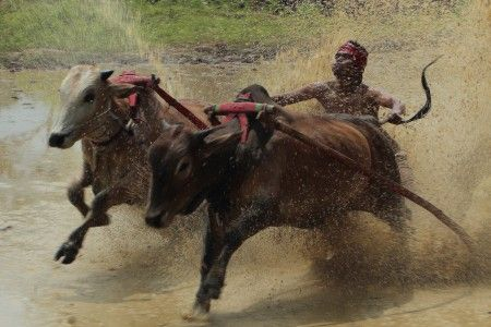 Syahid Kesuma: Joki pacu jawi memacu arah lari sepasang sapi nya dalam arena alek nagari selepas panen di Desa Limo Kaum, Kabupaten Tanah Datar Sumatera Barat