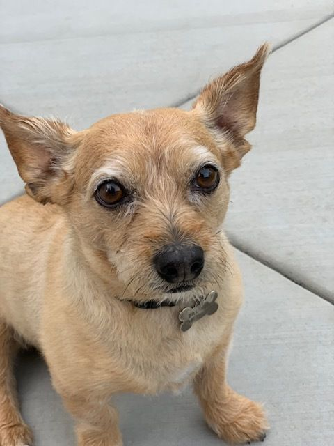 Adopt Bruiser On Rescue Chihuahua Terrier Cairn Terrier
