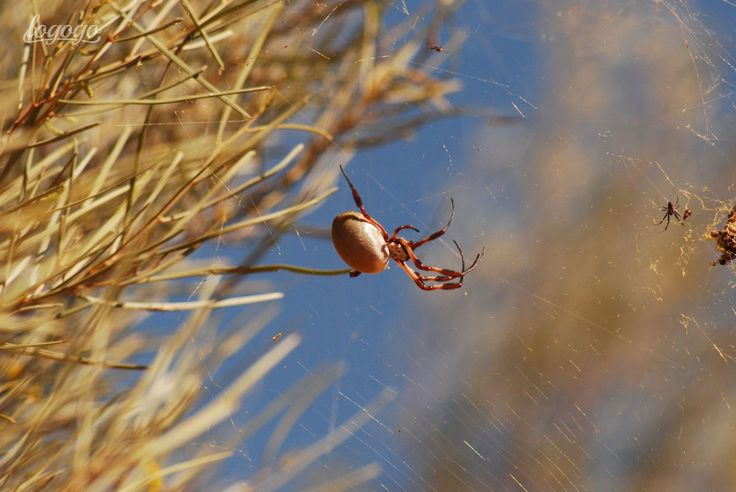 Orb spider and web
